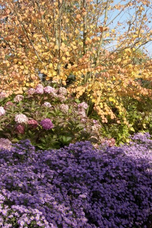 Herbstastern_BGL_2858