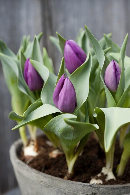 BBH Tulpen im Topf