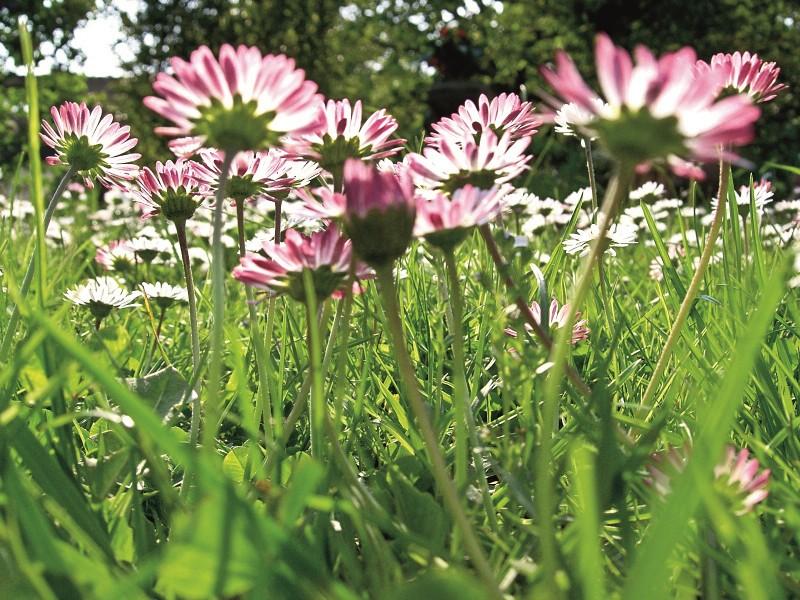KOSMOS Pflanzengöttinnen Gaenseblümchen