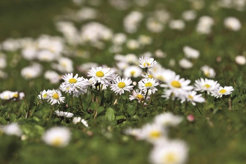 KOSMOS Pflanzengöttinnen Gaenseblümchen2